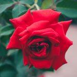 Las cuatro flores que le pueden cambiar la vida a Aries